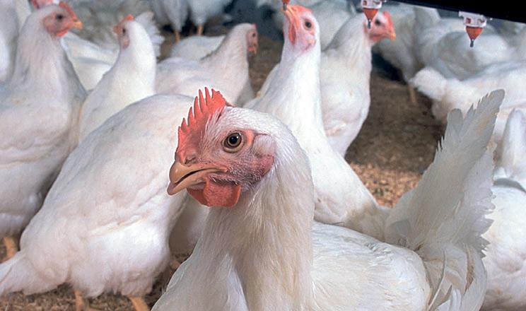 Як покращити резистентність птиці