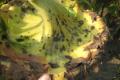 Існує загроза епіфітотії альтернаріозу на соняшнику, – дослідження