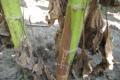 Біологічний фунгіцид БТУ-ЦЕНТР ефективний у захисті соняшнику від білої гнилі