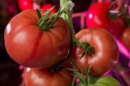 У Польщі вперше виростили рожеві томати зі світлодіодним досвічуванням