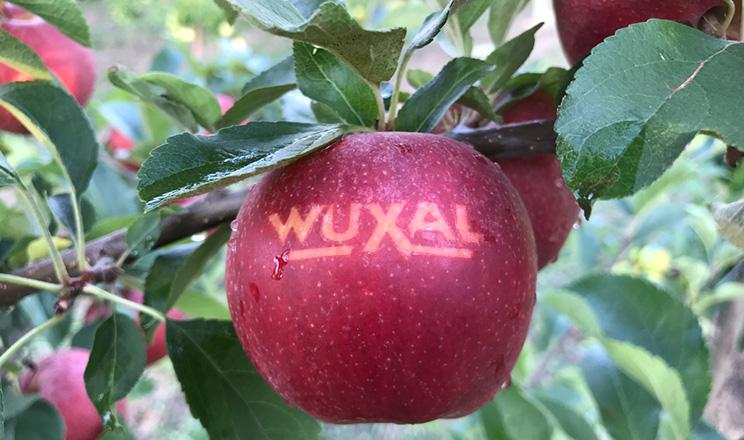 У Великій Британії говорять: «AN APPLE A DAY KEEPS DOCTOR AWAY». В перекладі це означає – «Одне яблуко в день зробить вашого лікаря безробітним»