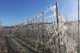 Заморозки у Вероні пошкодили 40-50% яблук Гала та Голден