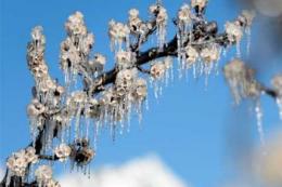 На Закарпатті заморозки знищили урожай ранніх абрикосів та персиків