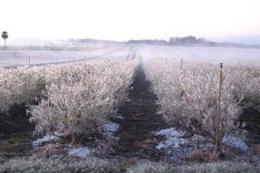 Заморозки пошкодили ранні сорти лохини