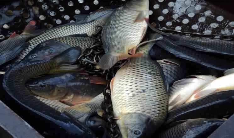 В Україні зменшується вирощування риби в умовах аквакультури
