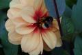 Спеціальні квіткові клумби зберігають популяцію диких бджіл