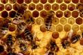 Постійна зміна температури цієї весни не вплине на зростання бджолосімей