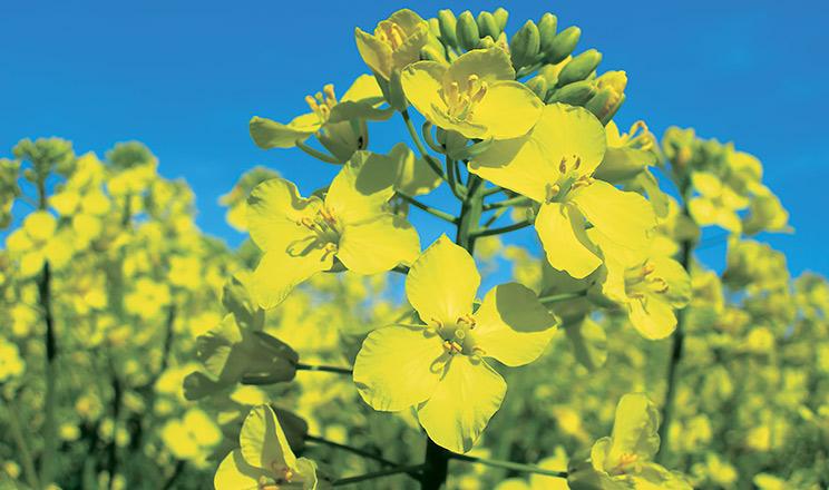 Високі врожаї олійних — запорука успіху господарства!