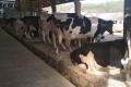 Рівненська сімейна ферма збудувала корівник за нестандартним проєктом