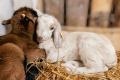 За два місяці поголів'я овець і кіз скоротилося на 5%