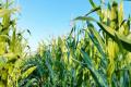 Компанія «Агро-Регіон» майже половину угідь відводить під посіви кукурудзи
