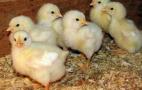 Чим дрібніше вапняк, тим гірше перетравлюється фосфор у раціоні свиней та птиці