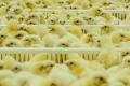 Виробники птиці в кінцевому підсумку повинні виграти від проблем із коронавірусом та АЧС, – Качка