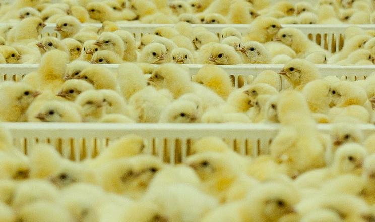 Україна повинна почати виробляти племінний молодняк птиці, – думка