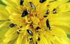 Ріпаковий квіткоїд цього року матиме невисоку чисельність у посівах