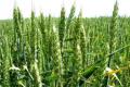 Яка технологія вирощування пшениці сприяє підвищенню класу зерна