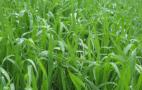 На розвитку озимини позначається пізнє відновлення весняної вегетації