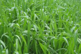 Які рослини озимих зернових культур мають найвищі шанси пережити зиму