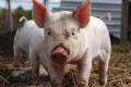 Збагачене середовище корисне для свиней