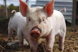 У Польщі зафіксовано другий із початку року спалах АЧС на свинофермі