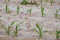 Румунія потерпає від посухи. Що буде з експортом зерна?
