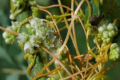 Як очистити насіння бобових трав від бур'яну-повитиці