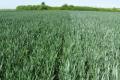 Київська «Мрія» мінімізувала пестицидне навантаження на посіви