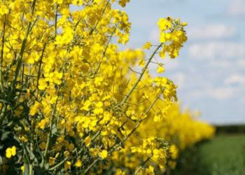 Урожайність ріпаку цього року на 10% нижча, ніж торік