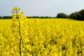 Ціни на українский ріпак нового врожаю зростають на тлі високого попиту