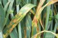У деяких областях до 53% посівів озимини уражені хворобами