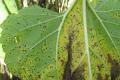 Посіви соняшнику у західному регіоні Лісостепу може уразити іржа