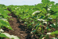 Нестабільність погодних умов у західному регіоні призводить до ураження соняшнику
