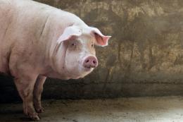 Середня ціна живця свиней – 42,9 тис. грн/тонна