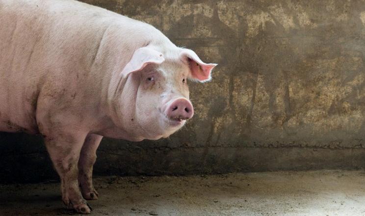 Живець свиней цього тижня ще подешевшав