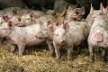 На двох румунських фермах сталися спалахи АЧС