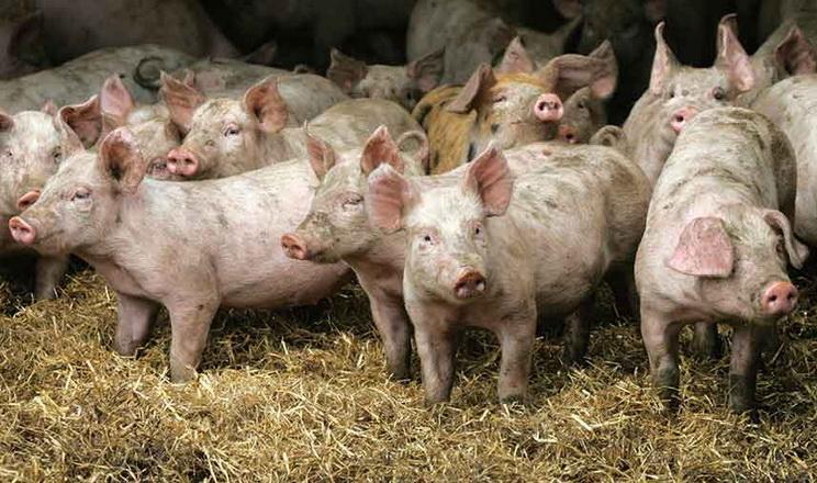 В Індії зареєстровані перші випадки захворювання свиней на АЧС
