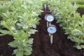 Вирощування кормових бобів поліпшить асортимент кормових культур