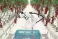 Роботи допомагають збирати і транспортувати томати в японській теплиці