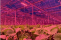 Виробники полуниці слідом за виробниками томатів встановлюють світлодіодне досвічування