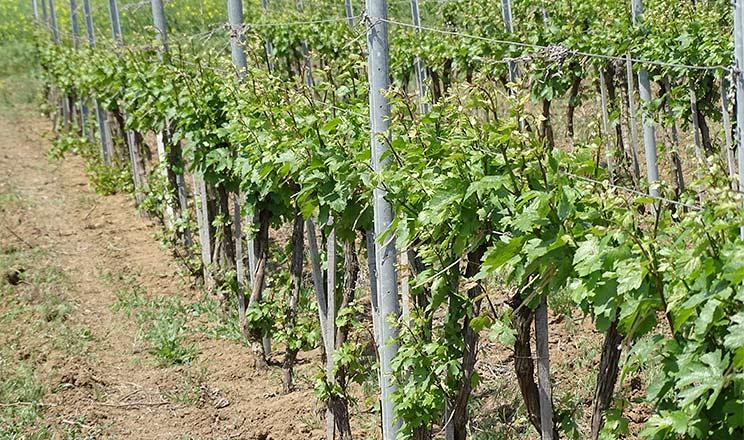 Поливні норми для винограду