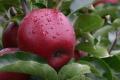 Українська компанія стала лідером постачання європейського яблука до Малайзії
