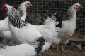 Птиця кросу Адлерська срібляста стійка до несприятливих чинників та інфекційних хвороб