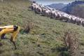 Собака-робот Boston Dynamics досліджує овець у Новій Зеландії