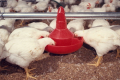 Яка роль ферментів у програмах годівлі курчат-бройлерів без антибіотиків