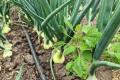 Експерт розповів, як дощі вплинули на ріст овочів