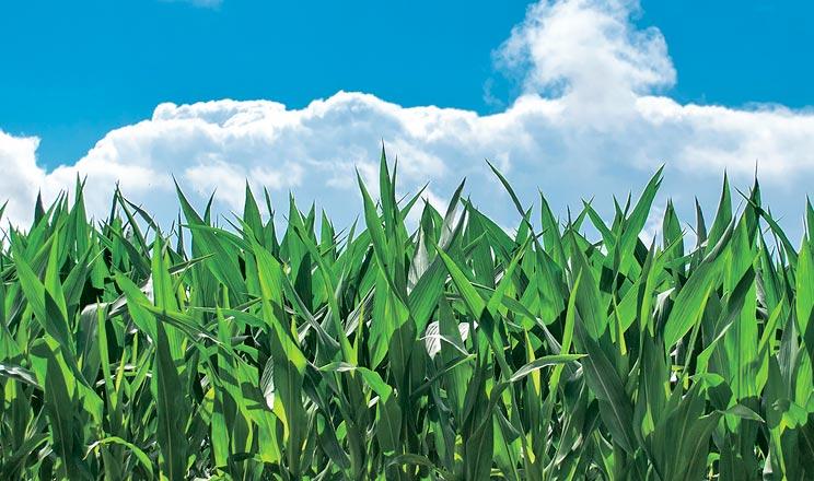 Особливості ефективних позакореневих підживлень кукурудзи та соняшнику