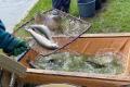 Басейн Прута зарибили ремонтно-матковим поголів'ям райдужної форелі