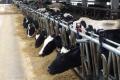 Яка прихована загроза від збільшення частки концкормів у новотільних корів