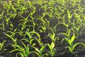 Група стиглості гібридів кукурудзи впливає на площу асиміляційної поверхні рослин
