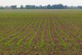 Дощі створили «райські умови» для кукурудзи, соняшника та сої
